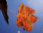 Feuille d'automne, Photo : Sylvain Beligon - PNG - 130.1 ko - 600×459 px