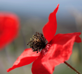 Coquelicot, photo : Sylvain Beligon - PNG - 125.7 ko